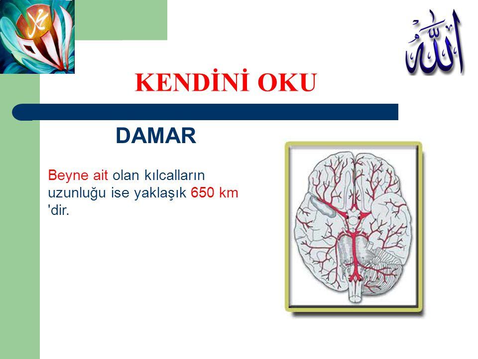 DAMAR Beyne ait olan kılcalların uzunluğu ise yaklaşık 650 km 'dir. KENDİNİ OKU