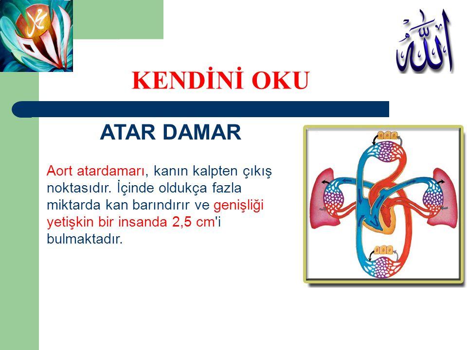 ATAR DAMAR Aort atardamarı, kanın kalpten çıkış noktasıdır. İçinde oldukça fazla miktarda kan barındırır ve genişliği yetişkin bir insanda 2,5 cm'i bu