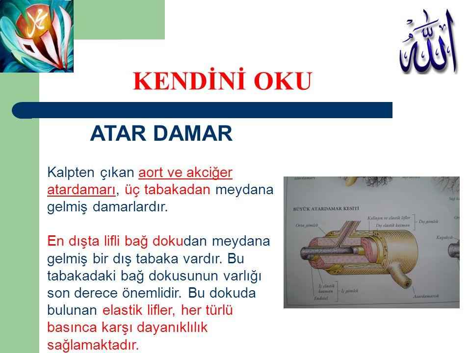 ATAR DAMAR Kalpten çıkan aort ve akciğer atardamarı, üç tabakadan meydana gelmiş damarlardır. En dışta lifli bağ dokudan meydana gelmiş bir dış tabaka
