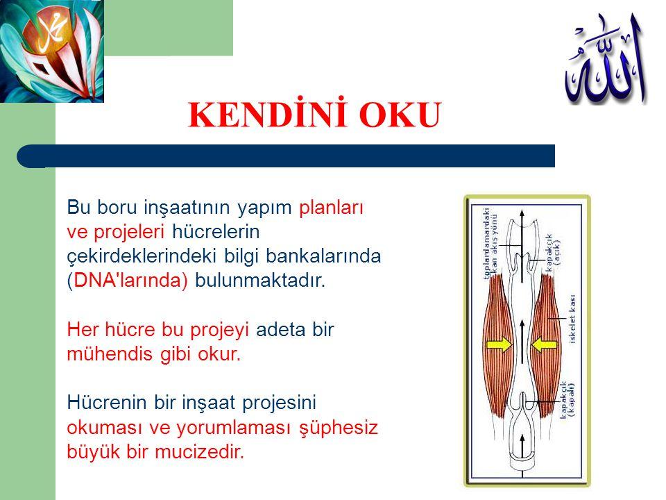 Bu boru inşaatının yapım planları ve projeleri hücrelerin çekirdeklerindeki bilgi bankalarında (DNA'larında) bulunmaktadır. Her hücre bu projeyi adeta