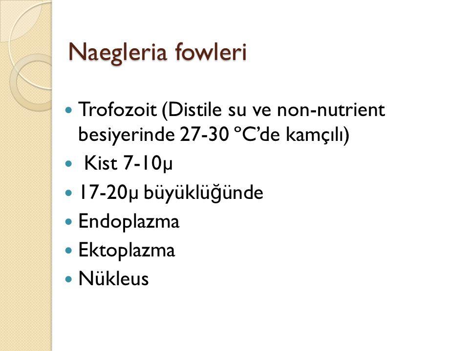 Naegleria fowleri Trofozoit (Distile su ve non-nutrient besiyerinde 27-30 ºC'de kamçılı) Kist 7-10µ 17-20µ büyüklü ğ ünde Endoplazma Ektoplazma Nükleu