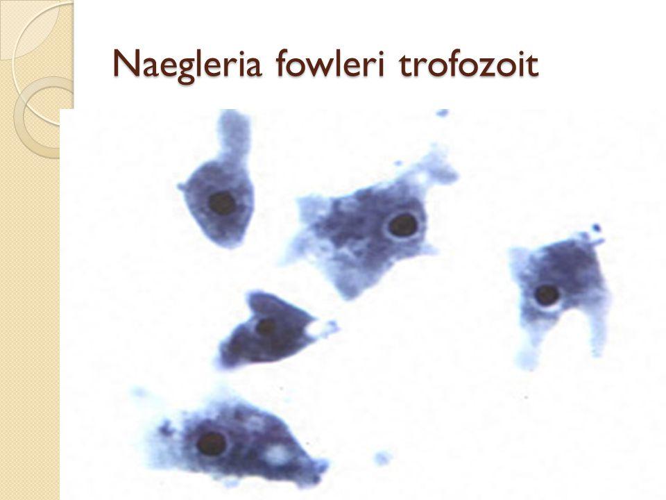 Naegleria fowleri trofozoit