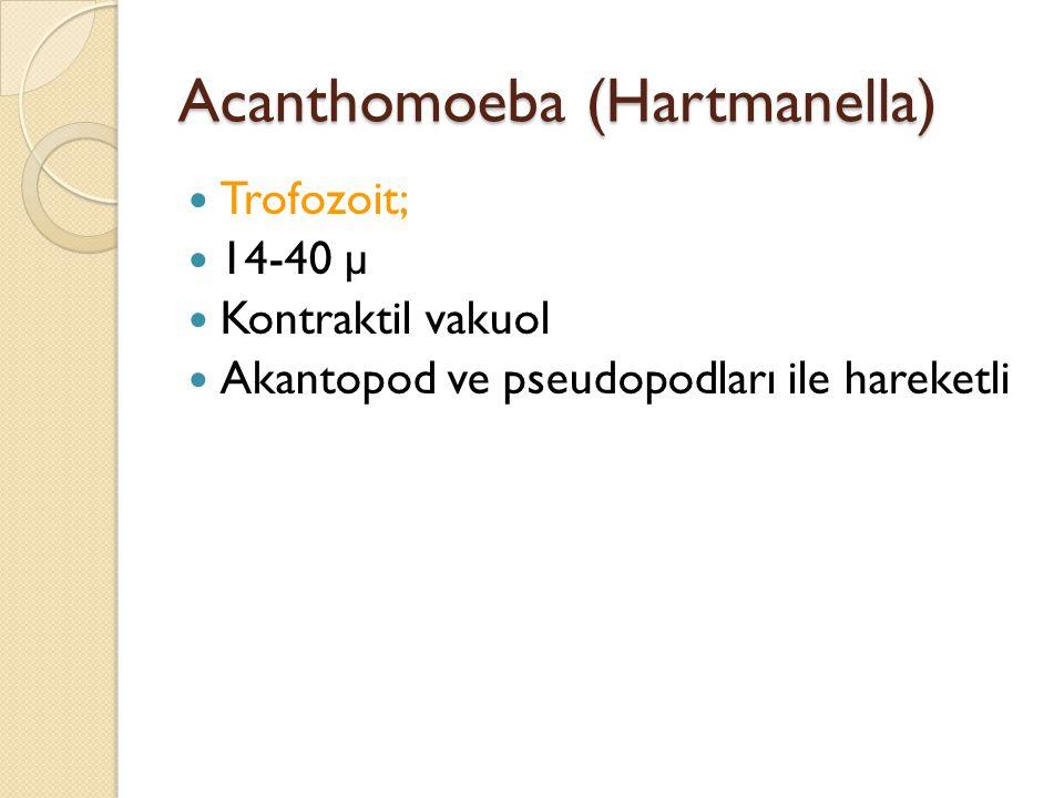 Acanthomoeba (Hartmanella) Trofozoit; 14-40 µ Kontraktil vakuol Akantopod ve pseudopodları ile hareketli