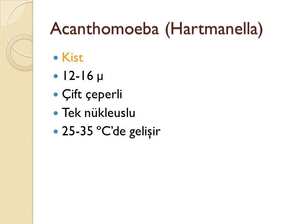 Acanthomoeba (Hartmanella) Kist 12-16 µ Çift çeperli Tek nükleuslu 25-35 ºC'de gelişir