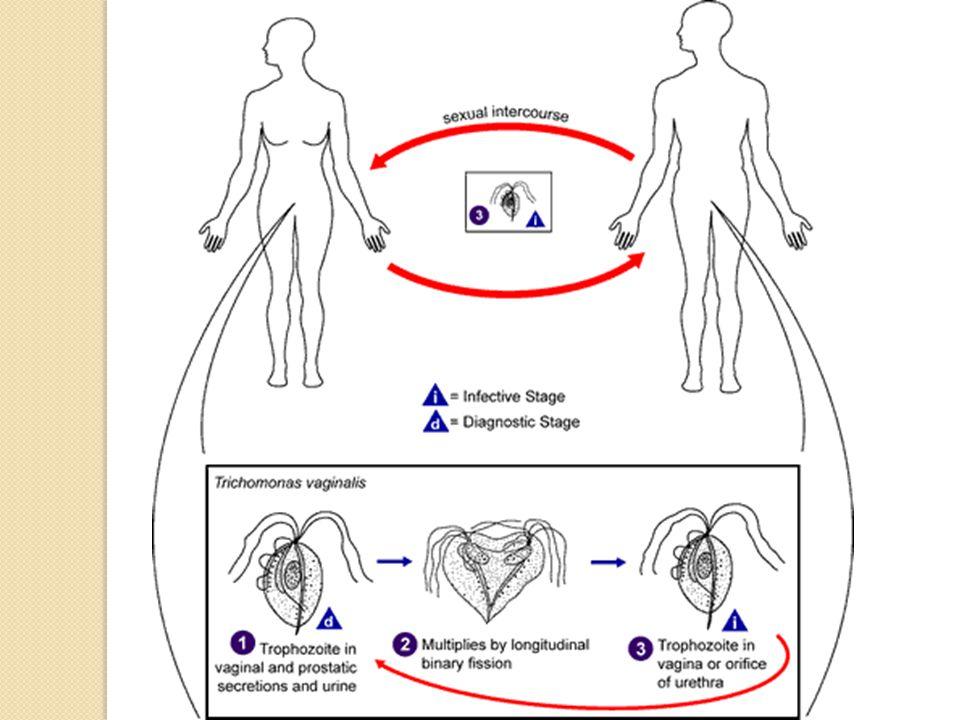 Eukaryotlara benzemekle beraber, mitokondri yerine, hidrogenozomları olması nedeniyle enerji metabolizması yönünden anaerobik bakteri benzerler