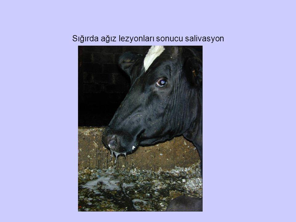 Sığırda ağız lezyonları sonucu salivasyon