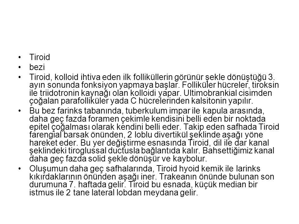 Tiroid bezi Tiroid, kolloid ihtiva eden ilk folliküllerin görünür şekle dönüştüğü 3.