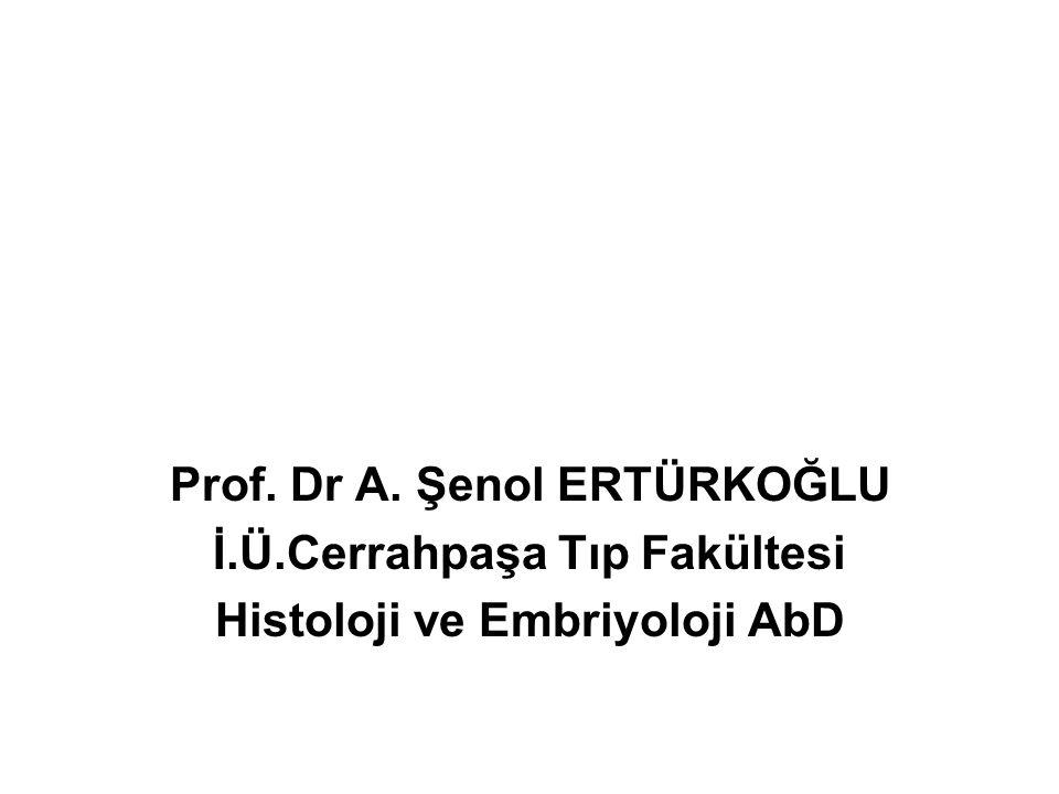 Prof. Dr A. Şenol ERTÜRKOĞLU İ.Ü.Cerrahpaşa Tıp Fakültesi Histoloji ve Embriyoloji AbD