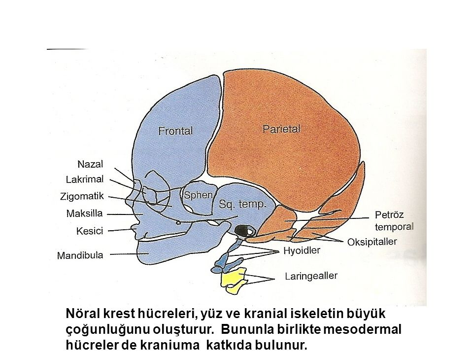Nöral krest hücreleri, yüz ve kranial iskeletin büyük çoğunluğunu oluşturur. Bununla birlikte mesodermal hücreler de kraniuma katkıda bulunur.
