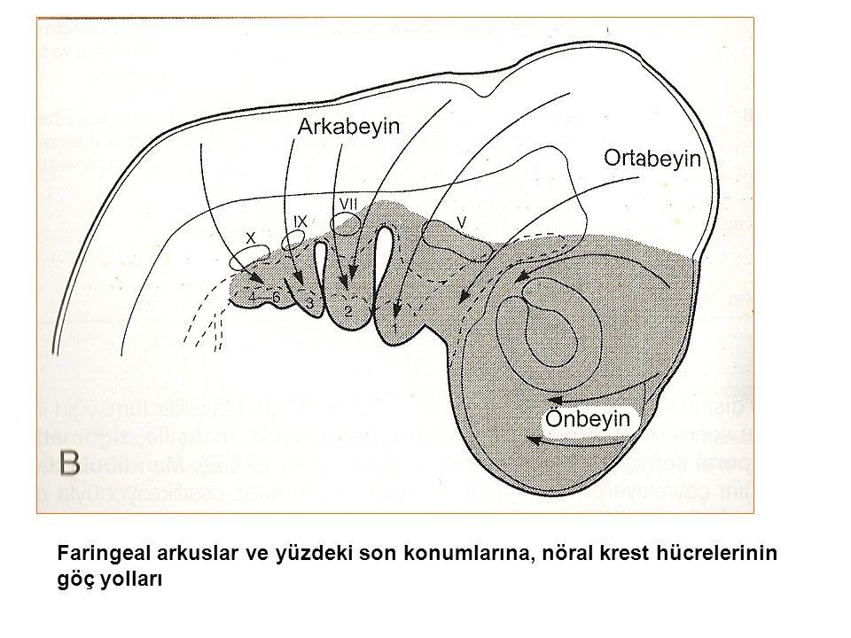 Faringeal arkuslar ve yüzdeki son konumlarına, nöral krest hücrelerinin göç yolları