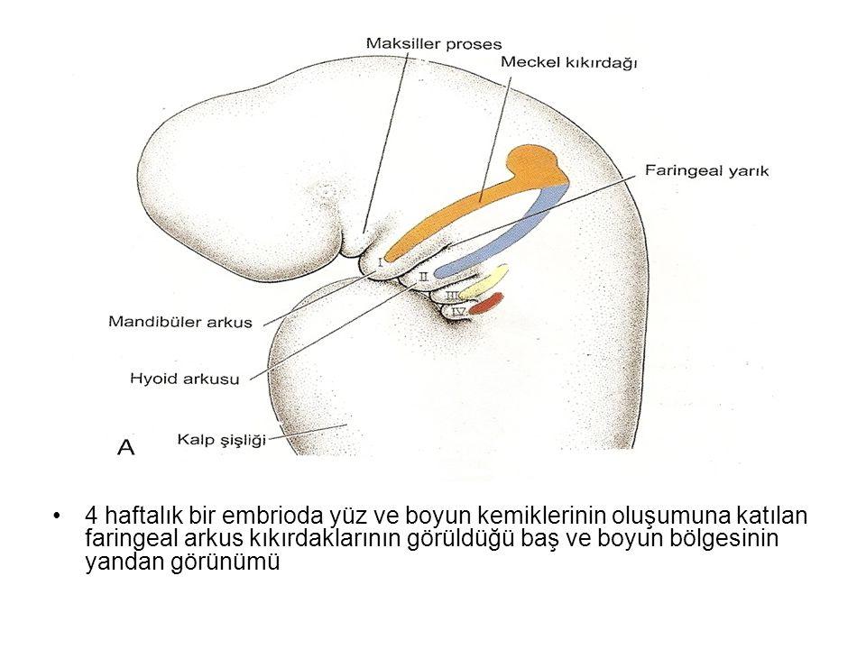 4 haftalık bir embrioda yüz ve boyun kemiklerinin oluşumuna katılan faringeal arkus kıkırdaklarının görüldüğü baş ve boyun bölgesinin yandan görünümü