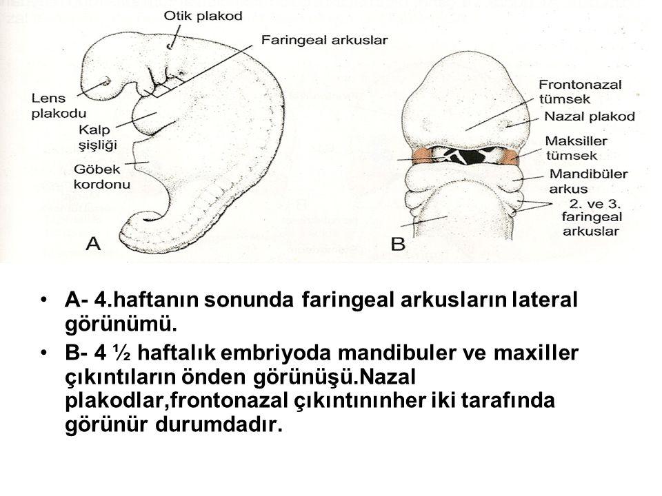A- 4.haftanın sonunda faringeal arkusların lateral görünümü. B- 4 ½ haftalık embriyoda mandibuler ve maxiller çıkıntıların önden görünüşü.Nazal plakod