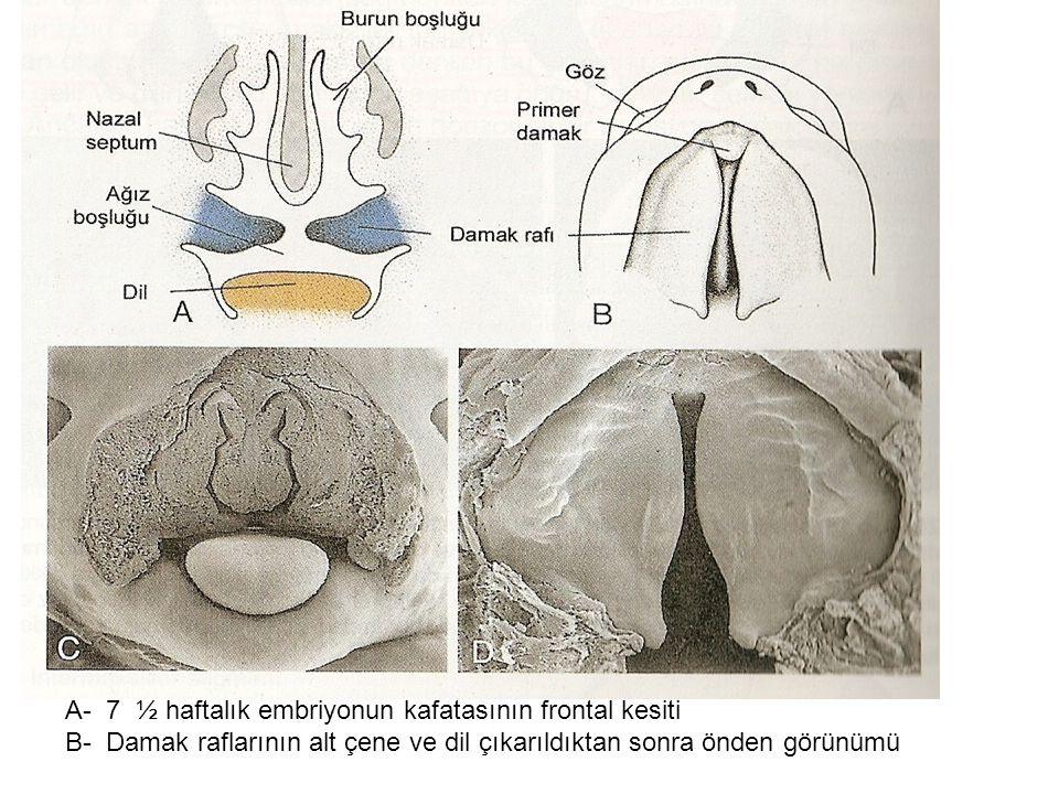 A- 7 ½ haftalık embriyonun kafatasının frontal kesiti B- Damak raflarının alt çene ve dil çıkarıldıktan sonra önden görünümü