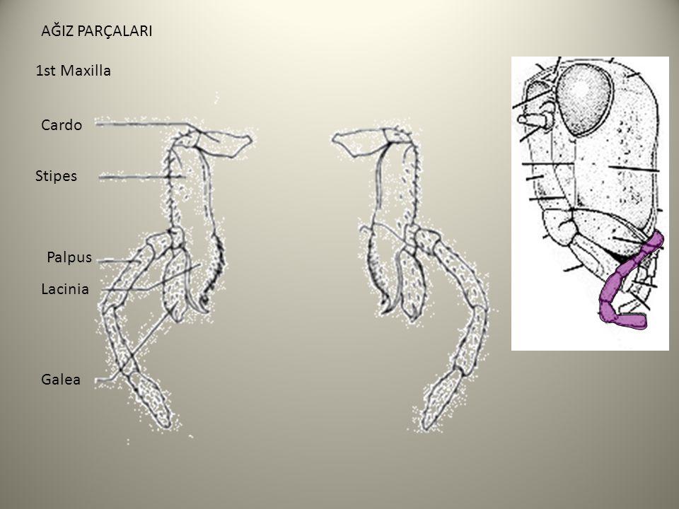 Cardo Stipes Lacinia Galea Palpus AĞIZ PARÇALARI 1st Maxilla