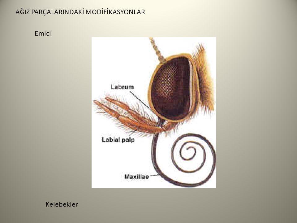 Emici Kelebekler AĞIZ PARÇALARINDAKİ MODİFİKASYONLAR
