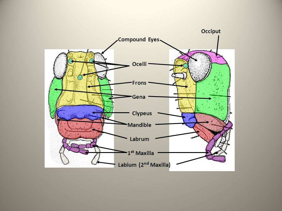 Compound Eyes Ocelli Frons Gena Clypeus Labrum 1 st Maxilla Labium (2 nd Maxilla) Mandible Occiput