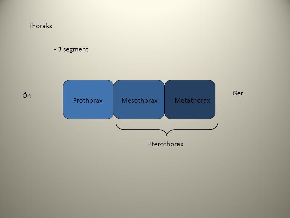 Thoraks - 3 segment ProthoraxMesothoraxMetathorax Pterothorax Ön Geri