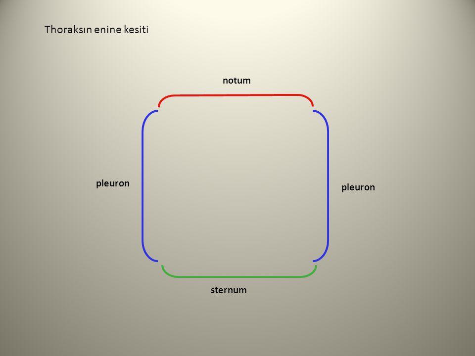 pleuron notum sternum pleuron Thoraksın enine kesiti