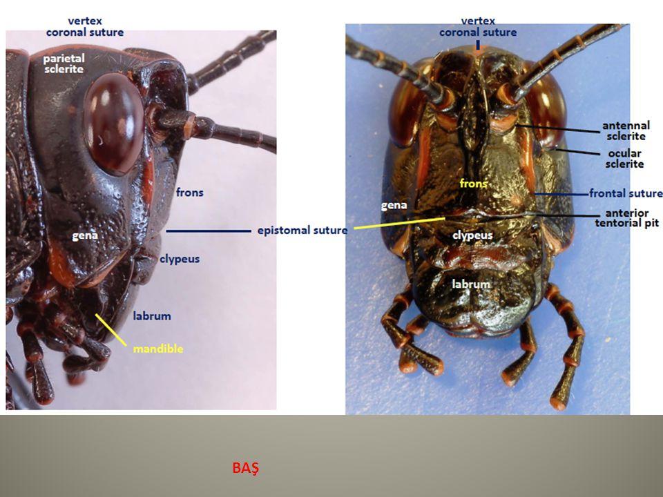 abdomen - uzantılar Cerci – tutma (yakalama) işlevi Erkek Phasmida