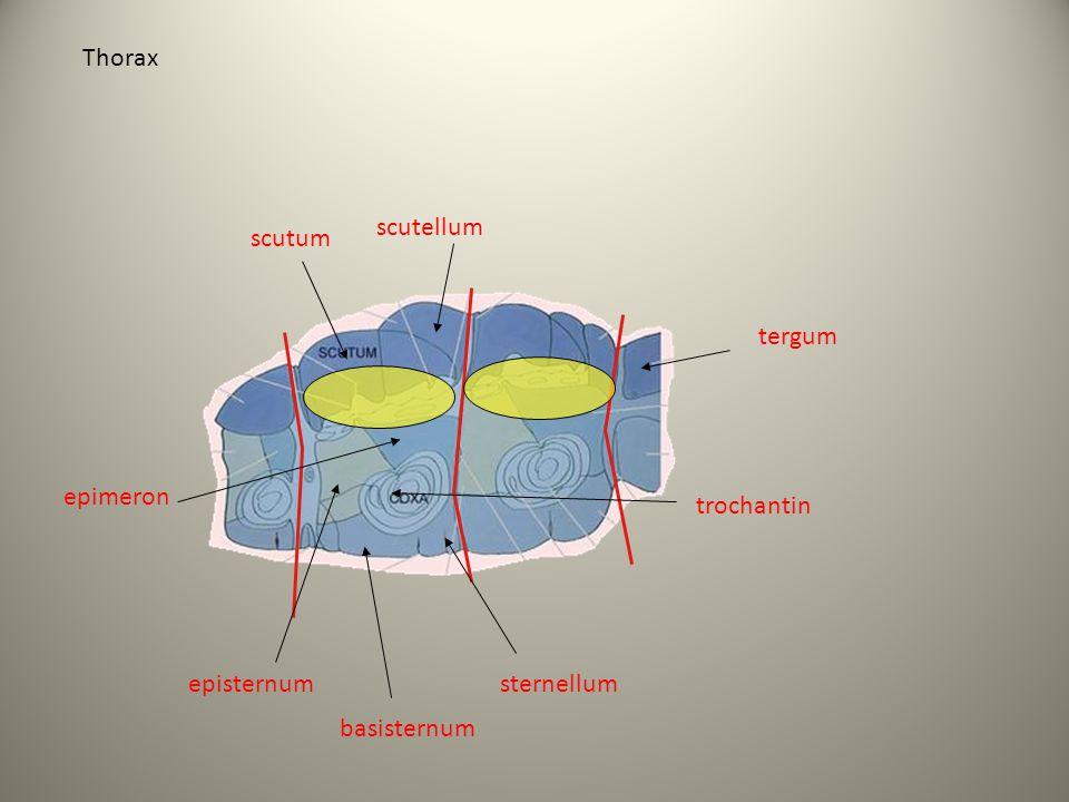 Thorax scutum scutellum epimeron basisternum trochantin sternellum tergum episternum