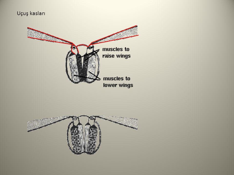 Uçuş kasları