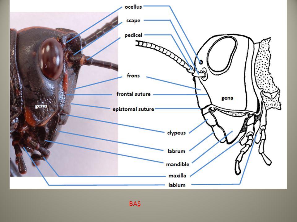 Meso ve Metathorax Boyuna kaslar