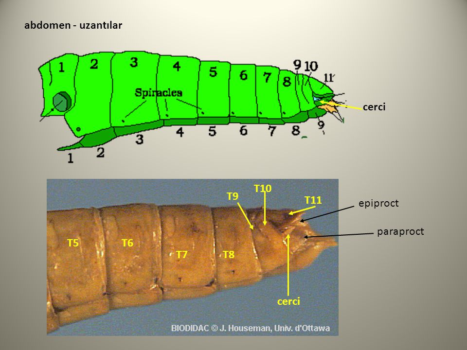 T5T6 T7T8 T9 T10 T11 cerci abdomen - uzantılar paraproct epiproct