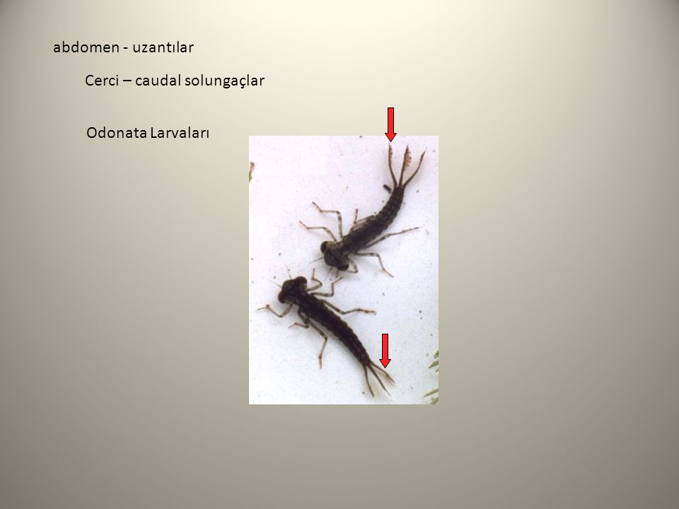 abdomen - uzantılar Cerci – caudal solungaçlar Odonata Larvaları