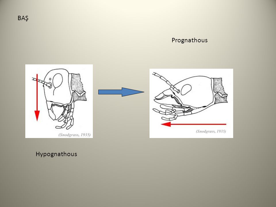 AĞIZ PARÇALARI Labrum Mandibul 1. Maxilla Labium (2. maxilla) Hypopharynx