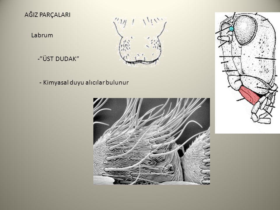 Tentorium - Baş kapsülü için içsel destek sağlar (iskelet) Anterior kollar Posterior kollar Dorsal kollar