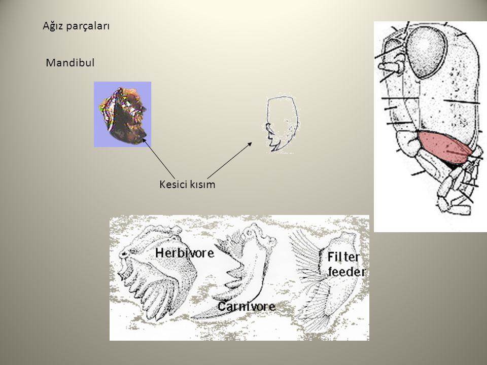 Mandibula AĞIZ PARÇALARI Çekirgelerde –iki parçalı bağlantı -hareketten öte kuvet kazandırır