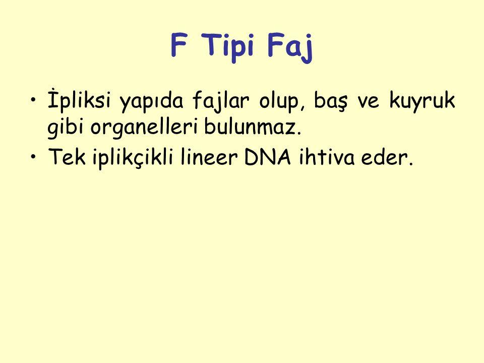 F Tipi Faj İpliksi yapıda fajlar olup, baş ve kuyruk gibi organelleri bulunmaz.