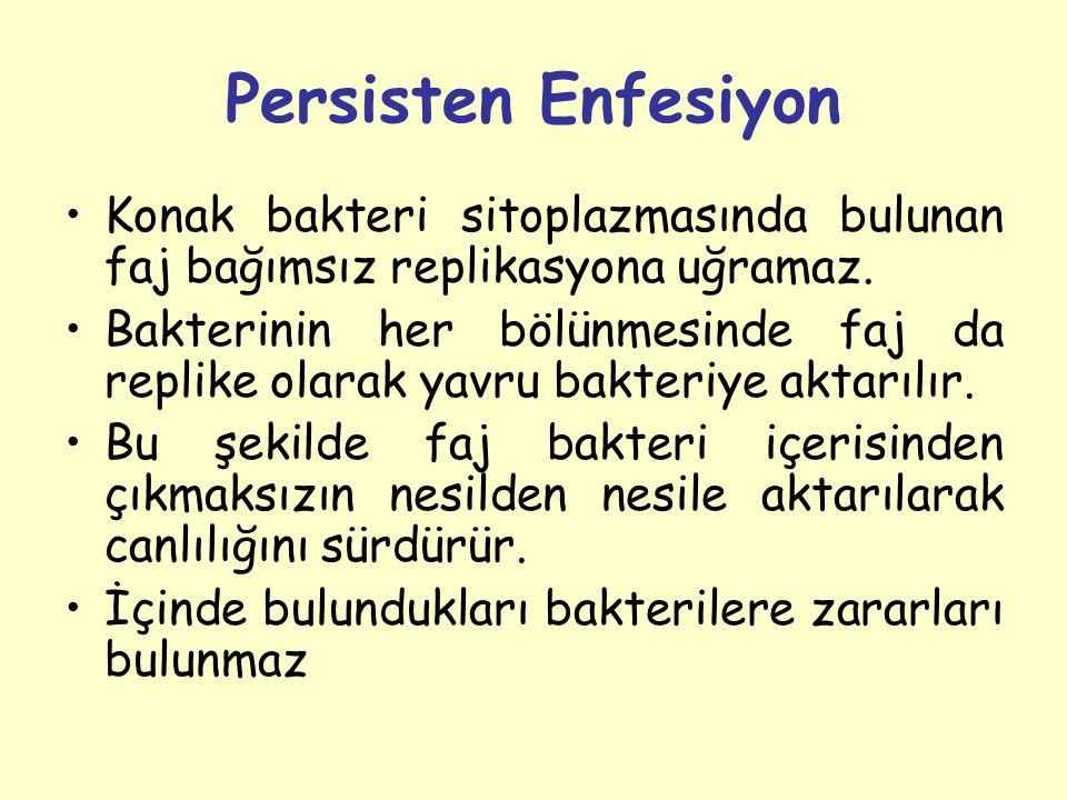 Persisten Enfesiyon Konak bakteri sitoplazmasında bulunan faj bağımsız replikasyona uğramaz.