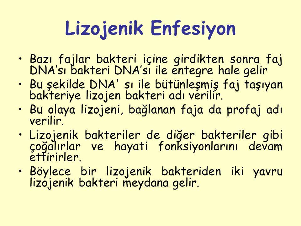 Lizojenik Enfesiyon Bazı fajlar bakteri içine girdikten sonra faj DNA'sı bakteri DNA'sı ile entegre hale gelir Bu şekilde DNA sı ile bütünleşmiş faj taşıyan bakteriye lizojen bakteri adı verilir.