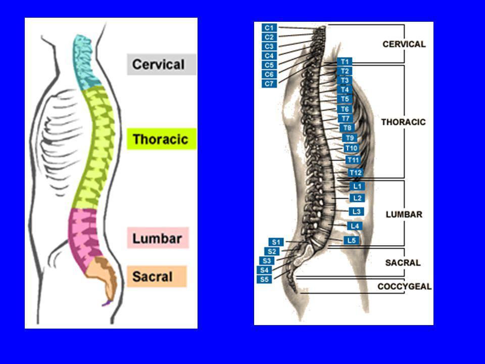Omurlarının Yapısı Her omur cisminin ortasında, beynin devamı olan omurilik bulunur.