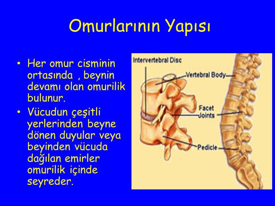 Omurlarının Yapısı Her omur cisminin ortasında, beynin devamı olan omurilik bulunur. Vücudun çeşitli yerlerinden beyne dönen duyular veya beyinden vüc
