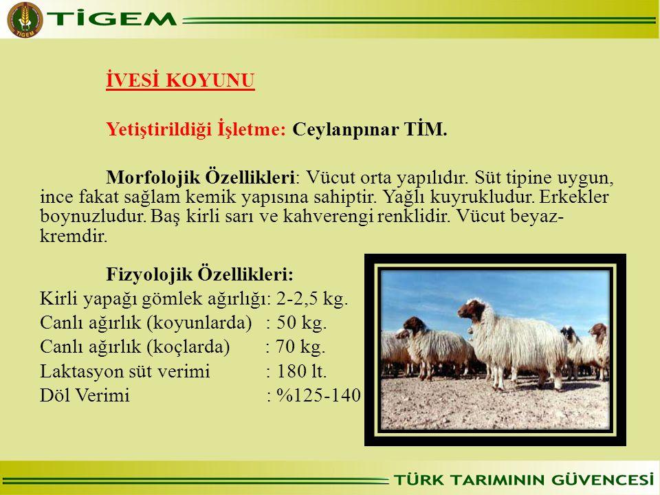 İVESİ KOYUNU Yetiştirildiği İşletme: Ceylanpınar TİM. Morfolojik Özellikleri: Vücut orta yapılıdır. Süt tipine uygun, ince fakat sağlam kemik yapısına