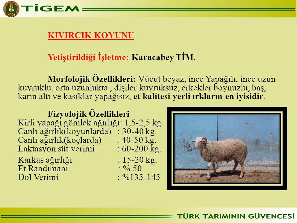 KIVIRCIK KOYUNU Yetiştirildiği İşletme: Karacabey TİM. Morfolojik Özellikleri: Vücut beyaz, ince Yapağılı, ince uzun kuyruklu, orta uzunlukta, dişiler