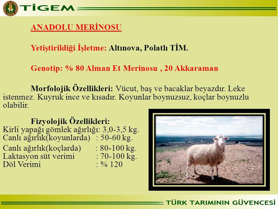 ANADOLU MERİNOSU  Yetiştirildiği İşletme: Altınova, Polatlı TİM. Genotip: % 80 Alman Et Merinosu, 20 Akkaraman Morfolojik Özellikleri: Vücut, baş ve