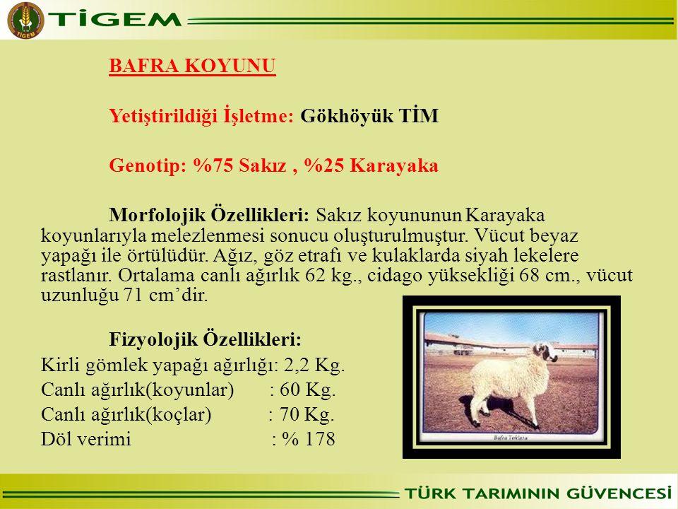 BAFRA KOYUNU Yetiştirildiği İşletme: Gökhöyük TİM Genotip: %75 Sakız, %25 Karayaka Morfolojik Özellikleri: Sakız koyununun Karayaka koyunlarıyla melezlenmesi sonucu oluşturulmuştur.