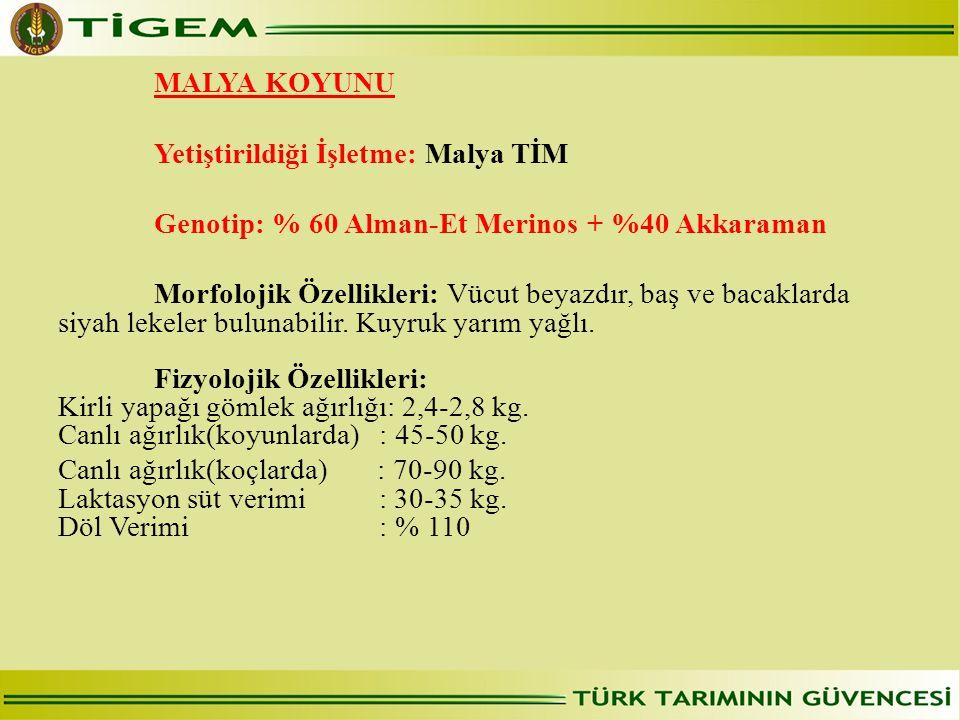 MALYA KOYUNU Yetiştirildiği İşletme: Malya TİM Genotip: % 60 Alman-Et Merinos + %40 Akkaraman Morfolojik Özellikleri: Vücut beyazdır, baş ve bacaklarda siyah lekeler bulunabilir.