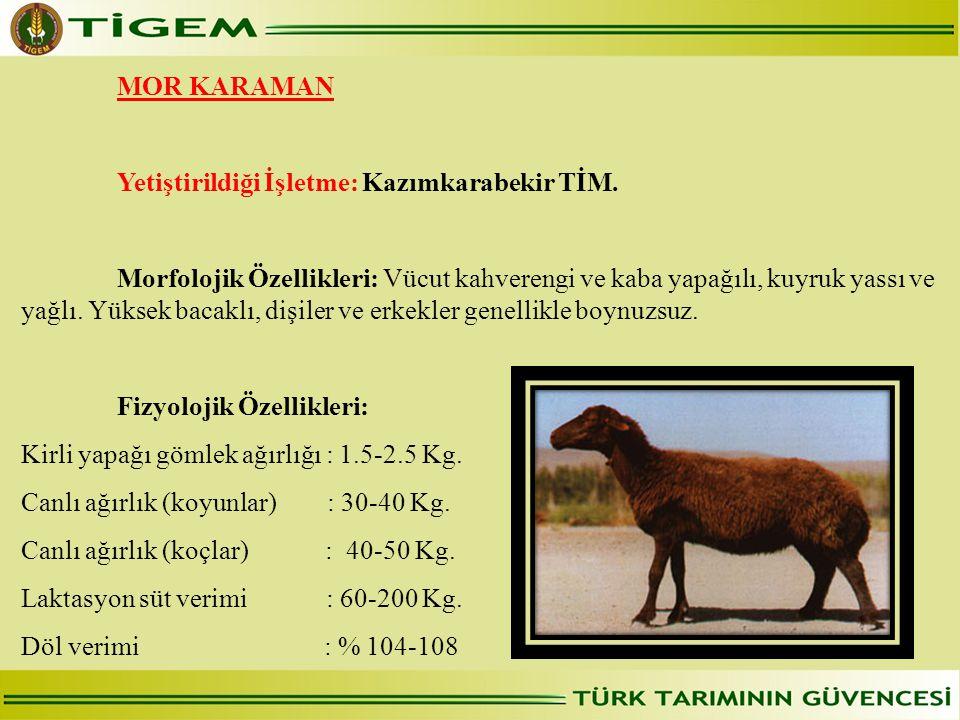 MOR KARAMAN Yetiştirildiği İşletme: Kazımkarabekir TİM. Morfolojik Özellikleri: Vücut kahverengi ve kaba yapağılı, kuyruk yassı ve yağlı. Yüksek bacak