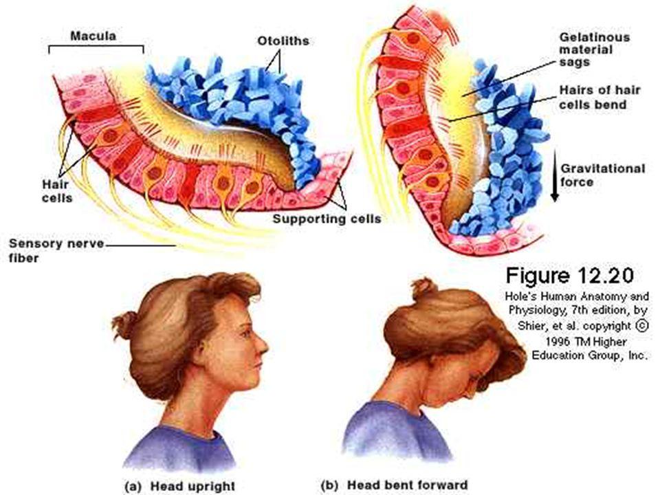 BENİGN PAROKSİSMAL POZİSYONEL VERTİGO-VIII Provakasyon Testleri  Dix-hallpike testi  Yana yatırma testi  Yuvarlama (Roll) testi Dix-hallpike ve yana yatırma testi ile posterior kanal ile anterior(superior) kanal patolojileri tesbit edilebilir.