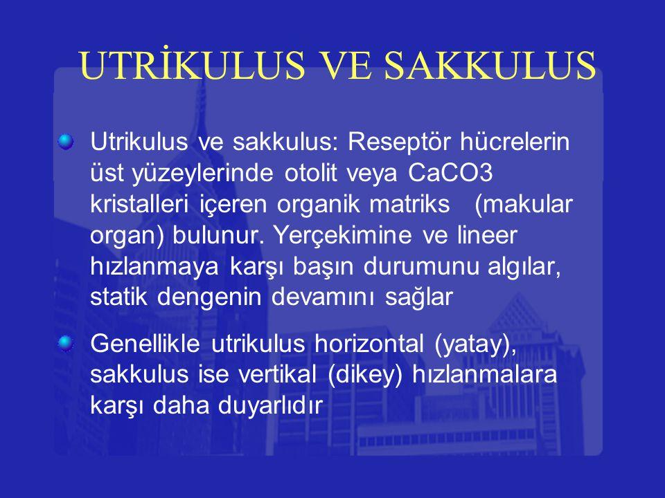 UTRİKULUS VE SAKKULUS Utrikulus ve sakkulus: Reseptör hücrelerin üst yüzeylerinde otolit veya CaCO3 kristalleri içeren organik matriks (makular organ)