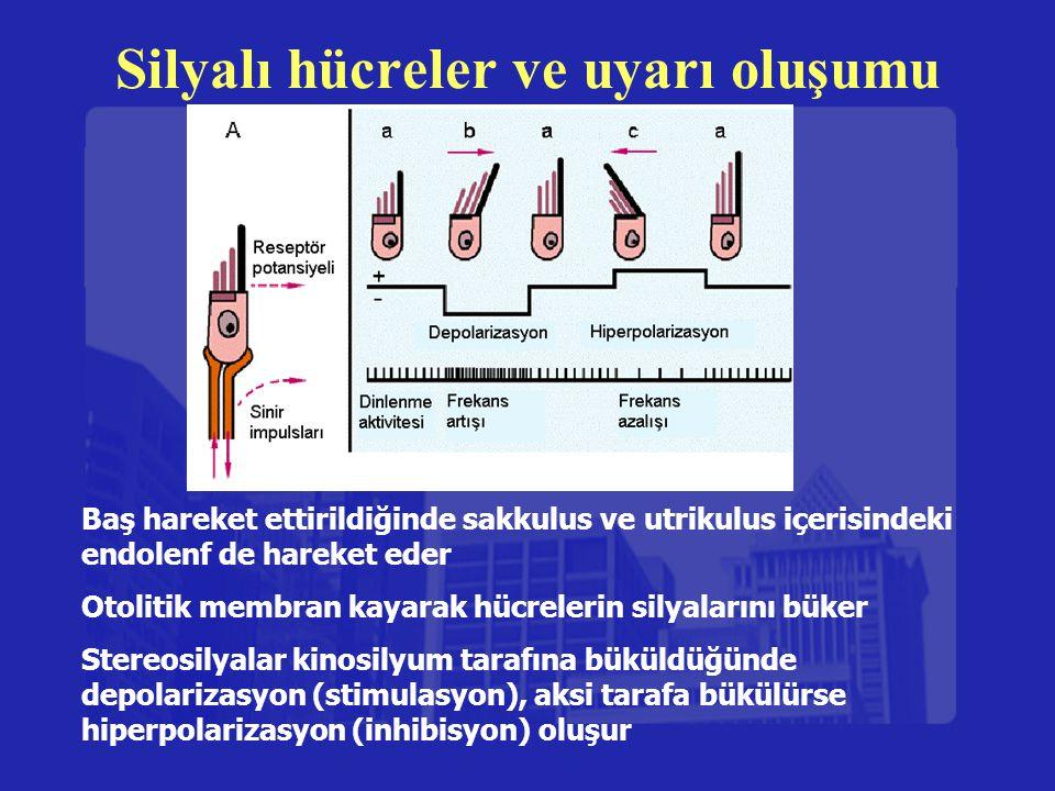 Silyalı hücreler ve uyarı oluşumu Baş hareket ettirildiğinde sakkulus ve utrikulus içerisindeki endolenf de hareket eder Otolitik membran kayarak hücr