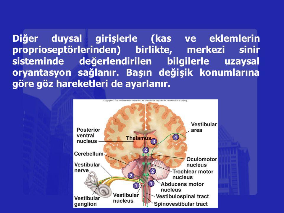 Diğer duysal girişlerle (kas ve eklemlerin proprioseptörlerinden) birlikte, merkezi sinir sisteminde değerlendirilen bilgilerle uzaysal oryantasyon sa