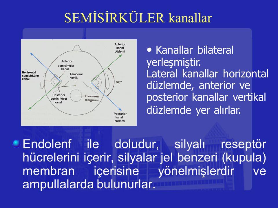 SEMİSİRKÜLER kanallar Endolenf ile doludur, silyalı reseptör hücrelerini içerir, silyalar jel benzeri (kupula) membran içerisine yönelmişlerdir ve amp