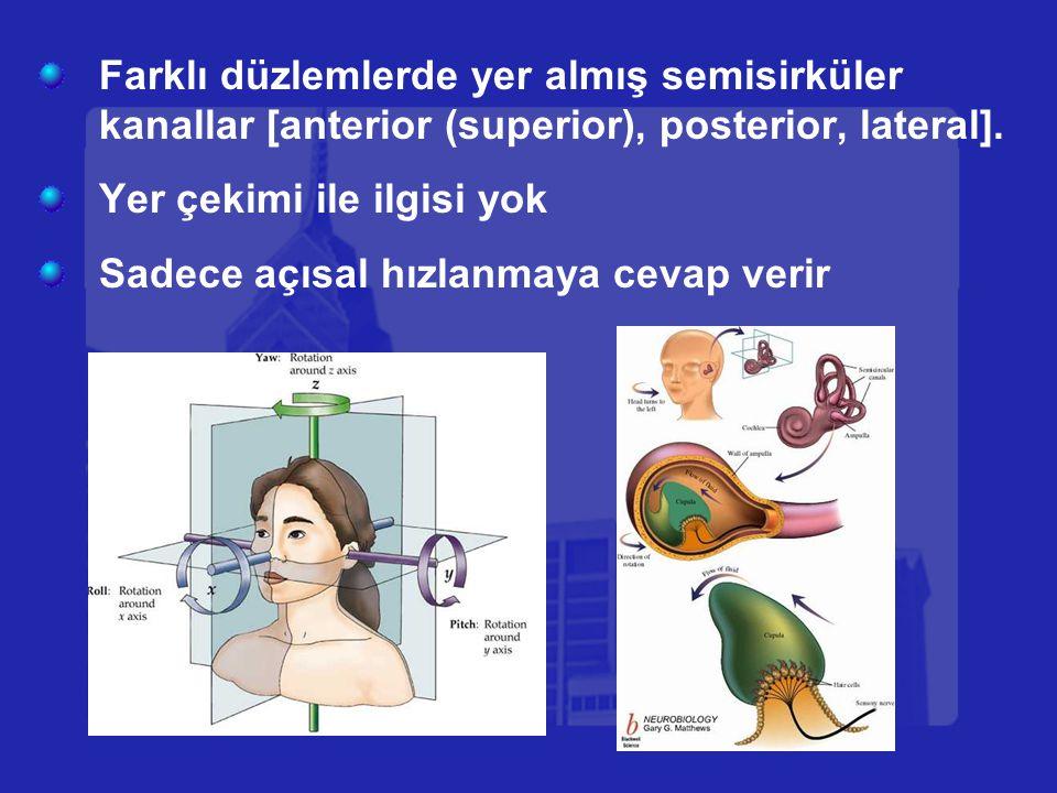 Farklı düzlemlerde yer almış semisirküler kanallar [anterior (superior), posterior, lateral]. Yer çekimi ile ilgisi yok Sadece açısal hızlanmaya cevap