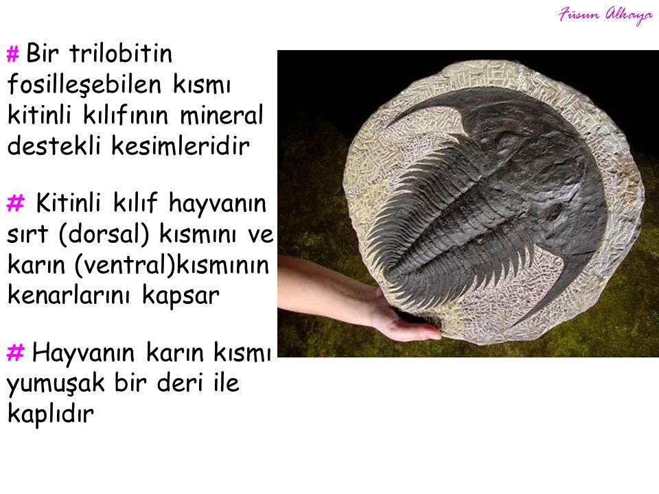 # Bir trilobitin fosilleşebilen kısmı kitinli kılıfının mineral destekli kesimleridir # Kitinli kılıf hayvanın sırt (dorsal) kısmını ve karın (ventral