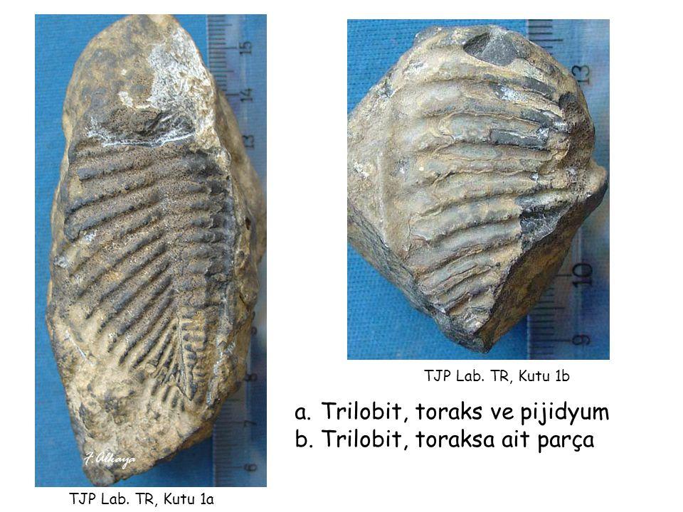 a.Trilobit, toraks ve pijidyum b.Trilobit, toraksa ait parça TJP Lab. TR, Kutu 1b TJP Lab. TR, Kutu 1a